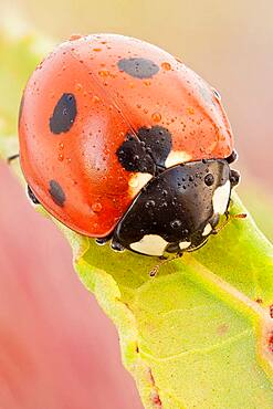 This is the most common ladybird in Europe, introduced in many countries as pests control agents as they are voracious predators of aphids