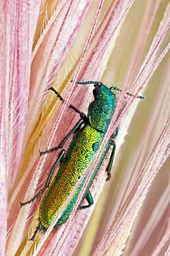 Psilothrix is a genus of soft-winged flower beetles; they are very shy and will throw themselves to the ground if they feel any danger. The colour of this beautiful insect is brilliant metallic blue-green.