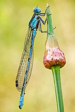 Damselflies are similar to dragonflies, but are smaller, have slimmer bodies, and most species fold the wings along the body when at rest.