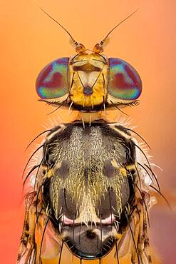 The Mediterranean fruit fly, Ceratitis capitata, is one of the world's most destructive fruit pests.
