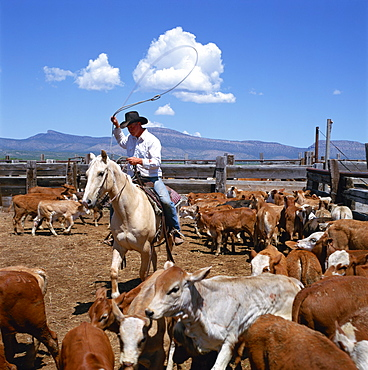 Cowboy riding a horse rounding up cattle for branding in Arizona, United States of America, North America