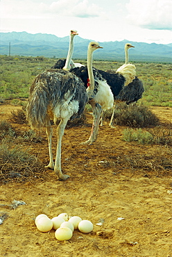 A troupe of ostriches with their progeny, South Africa, Africa