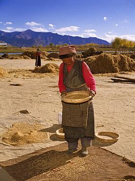 Woman winnowing wheat, Lhasa, Tibet, China, Asia