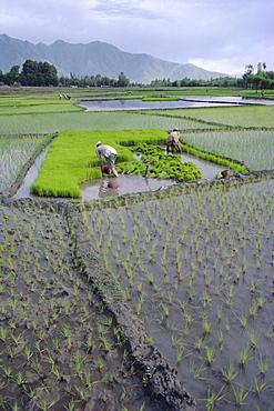 Paddy Fields, farmers planting rice, Kashmir, India