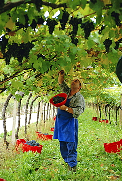Man picking kabinett grapes at Traminer below Bolzano, Alto Adige, Italy, Europe