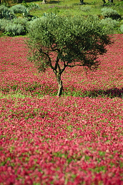 Wild clover flowers in an olive grove at Misilmeri, on the island of Sicily, Italy, Europe