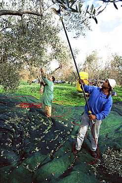 Vibrating olives from the trees in the groves of Marina Colonna, San Martino, Molise, Italy, Europe