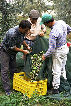 Gathering olives for fine extra-virgin oil, Frantoio Galantino, Bisceglie, Puglia, Italy, Europe