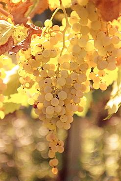 Close-up of Malvasia grapes in vineyard outside Frascati, Frascati, Lazio, Italy, Europe