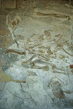 Fossilised bones including hind leg of Sauropod and Apatosaurus, Dinosaur National Monument, Colorado and Utah, United States of America, North America