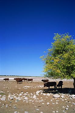 Cattle farm on edge of Kalahari Desert, Botswana, Africa