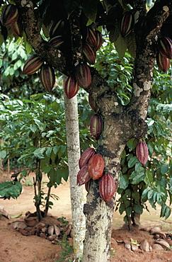 Cocoa pods on tree, Sri Lanka, Asia