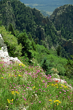 Wild flowers on the Sandia Crest, near Albuquerque, New Mexico, United States of America, North America