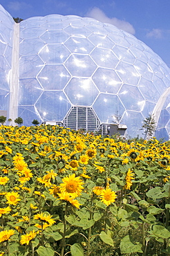 Sunflowers in front of biome, Eden Project, St. Austell, Cornwall, England, United Kingdom, Europe