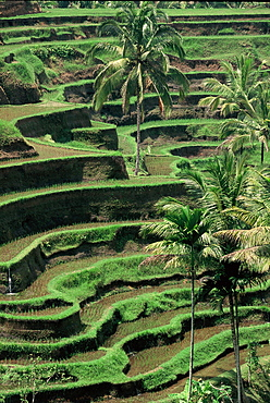 Terraced rice fields at Tegalalang, Bali, Indonesia, Southeast Asia, Asia