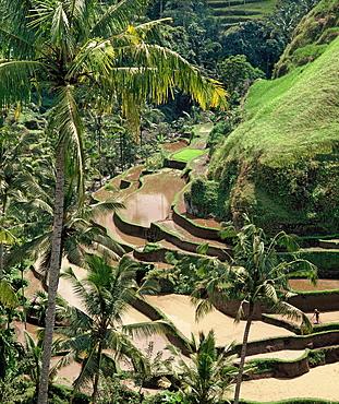 Terraced rice fields in Bali, Indonesia, Southeast Asia, Asia
