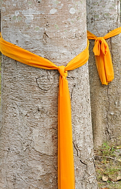Trees that have been ordained as monks to protect them from being cut down, Ko Samui, Thailand, Southeast Asia, Asia