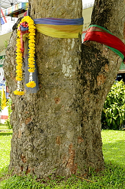 The first rubber tree planted in Thailand, now object of reverence for the prosperity the rubber brought to the province, Trang, Thailand, Southeast Asia, Asia