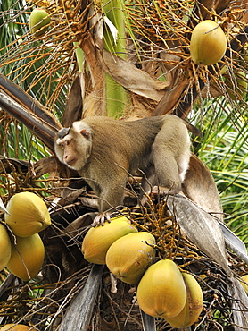 Macaque monkey trained to collect coconuts in Ko Samui, Thailand, Southeast Asia, Asia