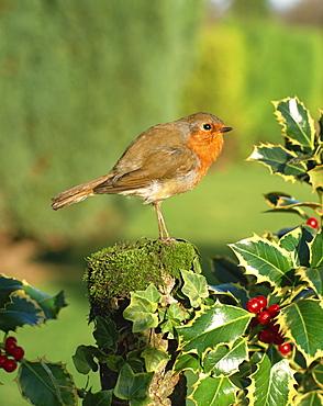Robin (Erithacus rubecula) perching on post near holly
