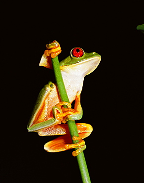 Red eyed tree frog (Agalythnis Callidryas), South America