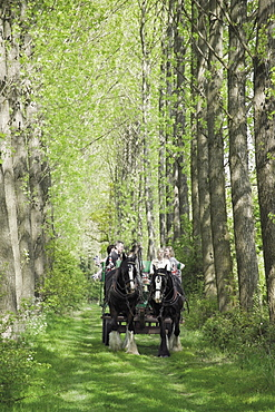 Horse and carriage carrying tourists from the childrens farm down an avenue of poplar trees in the grounds of Umberslade Hall, Tanworth in Arden, Warwickshire, England, United Kingdom, Europe