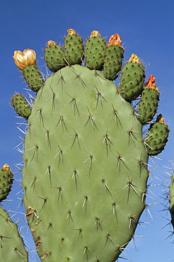 Close-up of a prickly pear (Opuntia) cactus in flower, Sardinia, Italy, Europe
