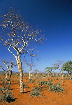 Acacia trees on red soils, near Goba, Southern Highlands, Ethiopia, Africa