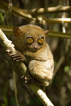 Tarsier fraterculus, the smallest living primate, 130mm (5 ins) tall, Tarsier Sanctuary, Sikatuna, Bohol, Philippines, Southeast Asia, Asia
