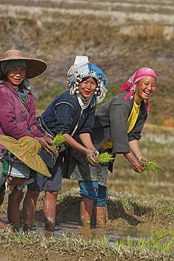 Akha ladies working in rice paddy near Wan Sai Village (Aku tribe), Kengtung (Kyaing Tong), Shan State, Myanmar (Burma), Asia