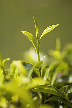 High quality tea leaves, the top two leaves and a bud are used for First Flush or Second Flush teas, Happy Valley Tea Estate, Darjeeling, West Bengal, India, Asia