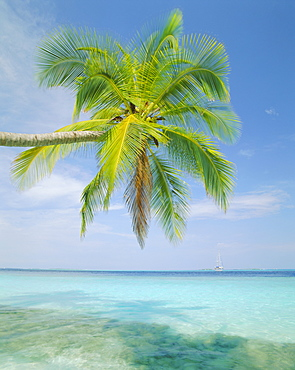 Palm tree overhanging the sea, Kuda Bandos (Little Bandos), North Male Atoll, The Maldives, Indian Ocean