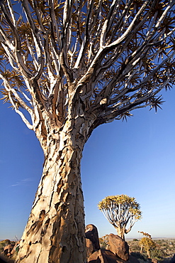 Quiver trees (Aloe Dichotoma), also referred to as Kokerboom, in the Quivertree Forest on Farm Gariganus near Keetmanshopp, Namibia, Africa