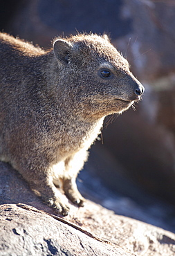 Rock hyrax (Dassie), living among rocks at the Quivertree Forest, near Keetmanshoop, Namibia, Africa