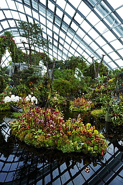 Carnivorous plant display inside Cloud Forest biosphere, Gardens by the Bay, Singapore, Southeast Asia, Asia