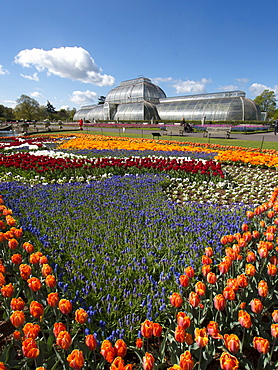 Flags of Liberty tulip beds, Holland and Great Britain, and Palm House, Royal Botanic Gardens, UNESCO World Heritage Site, Kew, Greater London, England, United Kingdom, Europe