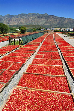 Dried tomatoes at Montagu, Little Karoo, South Africa, Africa
