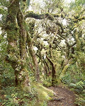 Goblin Forest, Kamahi Forest, Dawson Falls Track, Mount Egmont National Park, Taranaki, North Island, New Zealand, Pacific