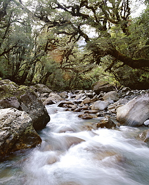 High country forest, overhanging with mosses, Gulliver River, on Grave-Talbot Track, Fiordland National Park, Otago, South Island, New Zealand, Pacific