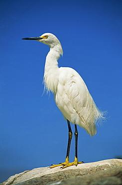 Snowy egret (Egretta thula), California, United States of America, North America