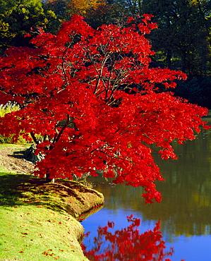 Brilliant red Acer Palmatum Cripsii in autumn, Sheffield Park Gardens, East Sussex, England