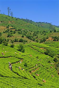 Tea pickers at work, Pedro Estate, Nuwara Eliya, Sri Lanka, Asia