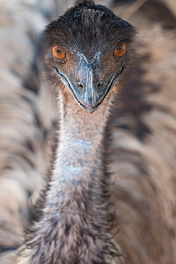 Close-up of face and neck of emu, Ostrich Safari Park, Oudsthoorn, South Africa, Africa