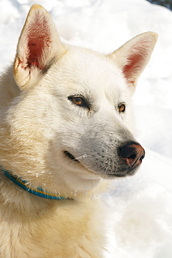 Close-up head shot of husky dog, Hercules, Husky Farm, Torassieppi, Lapland, Northern Finland, Europe
