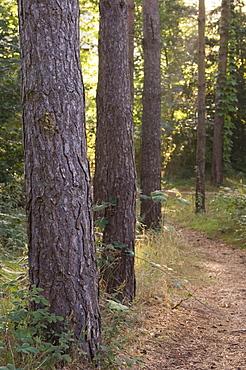 Woodland path trough Scots Pine trees, Pinus sylvestris, Norfolk, England
