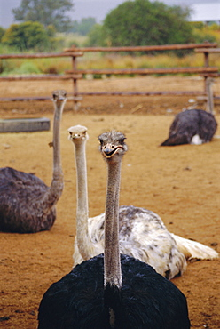 Ostrich farm in Oudtshoorn, Little Karoo, South Affrica