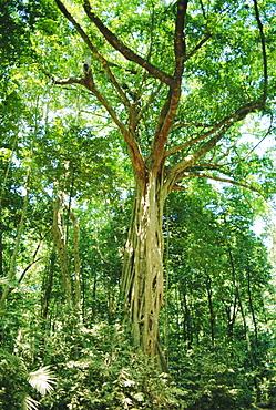 Strangular Fig Tree in rainforest, Cape Tribulation National Park, Queensland, Australia