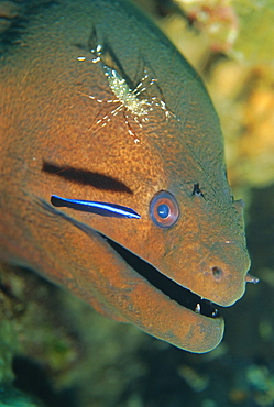 Close-up of the head of a Moray Eel being cleaned by cleaner shrimp, Urogcardidella anton bruunii, and cleaner wrasse, Similan Island, Thailand