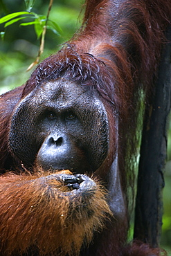 Mature male orangutan at Semenggoh Orangutan Rehabilitation Centre, 740 hectares of primary forest near Kuching in Sarawak, Borneo, Malaysia, Southeast Asia, Asia