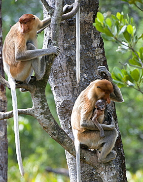 Adult female proboscis monkey (Nasalis larvatus) with new born baby with a distinctive blue tinged face, Labuk Bay Proboscis Monkey Sanctuary, Sabah, Borneo, Malaysia, Southeast Asia, Asia